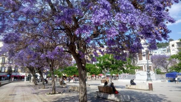 Jacarandas in Malaga in May
